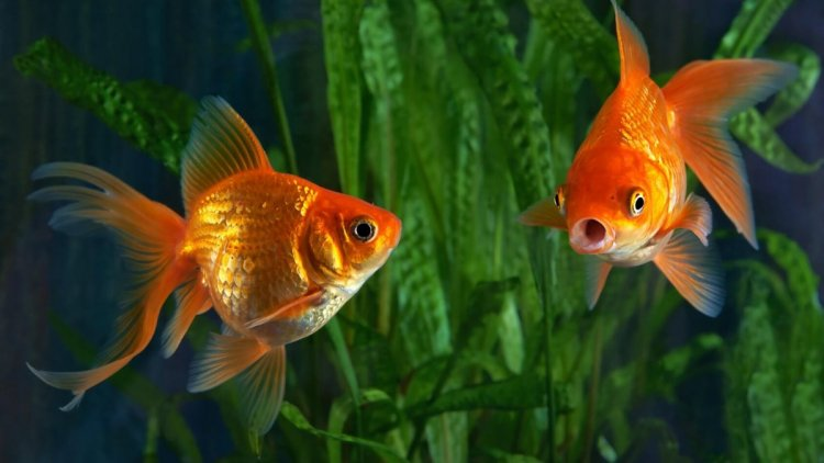 Amazing Benefits Of Keeping Golden Fish At Home